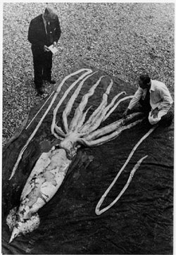 Calamaro gigante spiaggiato